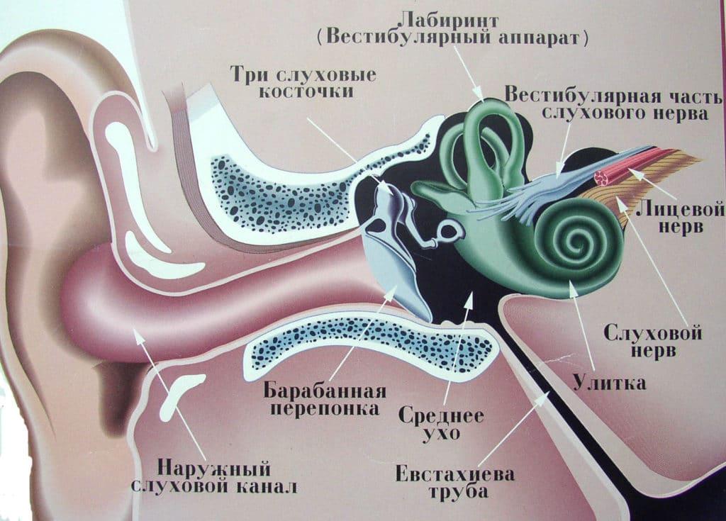 Строение среднего уха