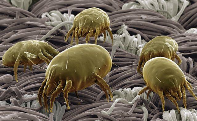 Пылевые клещи - как с ними бороться?