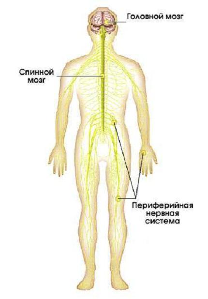 Нервная система человека: строение
